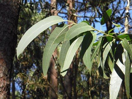 Eucalyptus, Feuille, Feuilles, Arbre