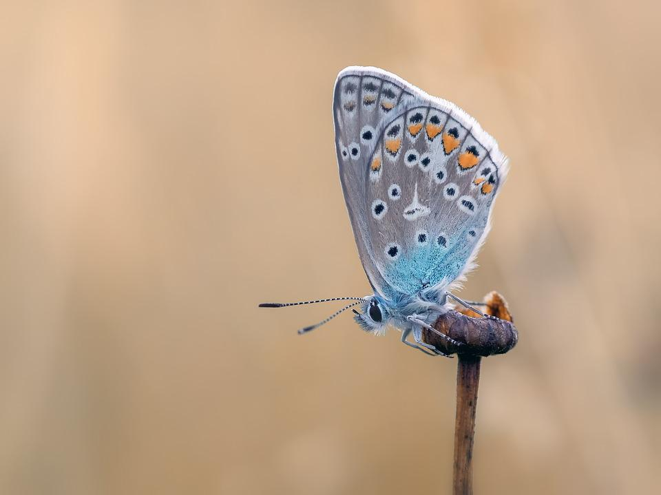 Butterfly Common Blue Butterflies Free Photo On Pixabay