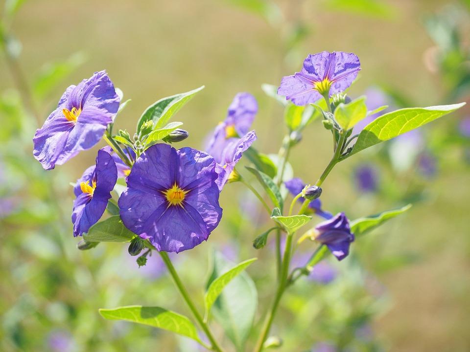 Download 94+ Gambar Bunga Violet Terbaik Gratis