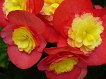 begonia, flower, red