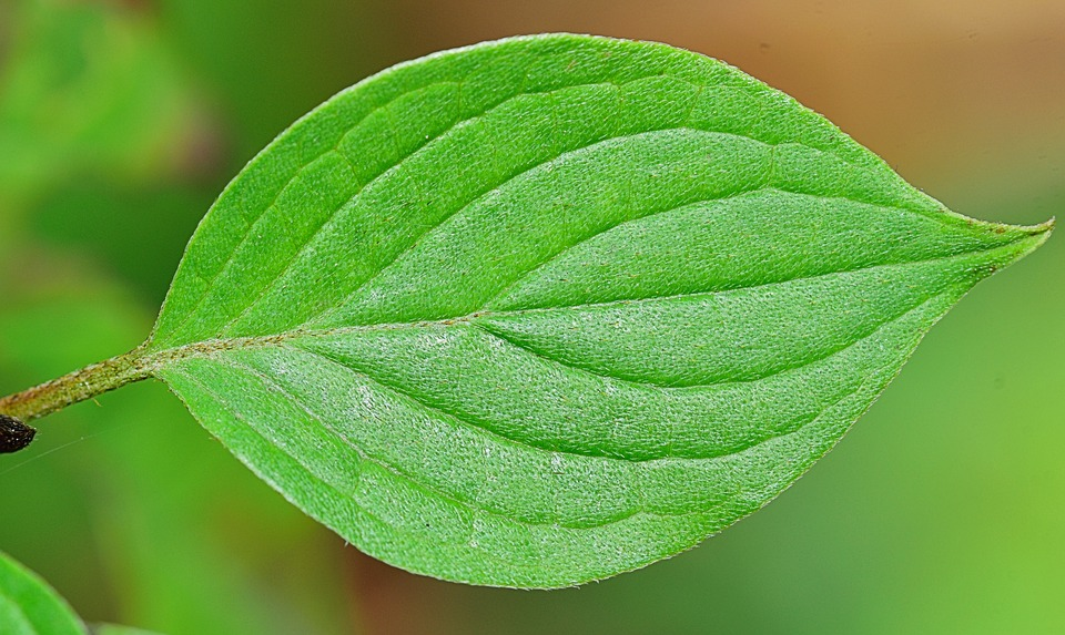 frunze verzi