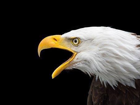 Bald Eagle Images · Pixabay · Download Free Pictures