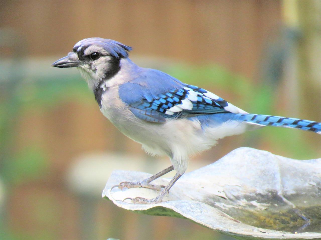 Bird, Blue Jay, Blue And White, Wildlife