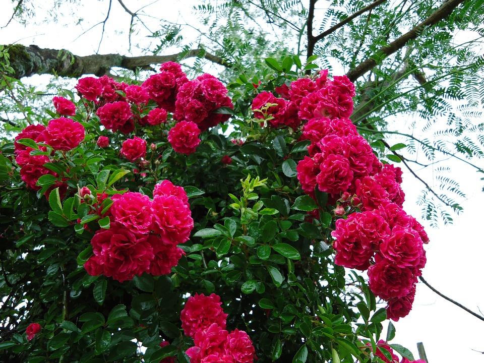 400 Gambar Bunga Mawar Banyak  Paling Keren