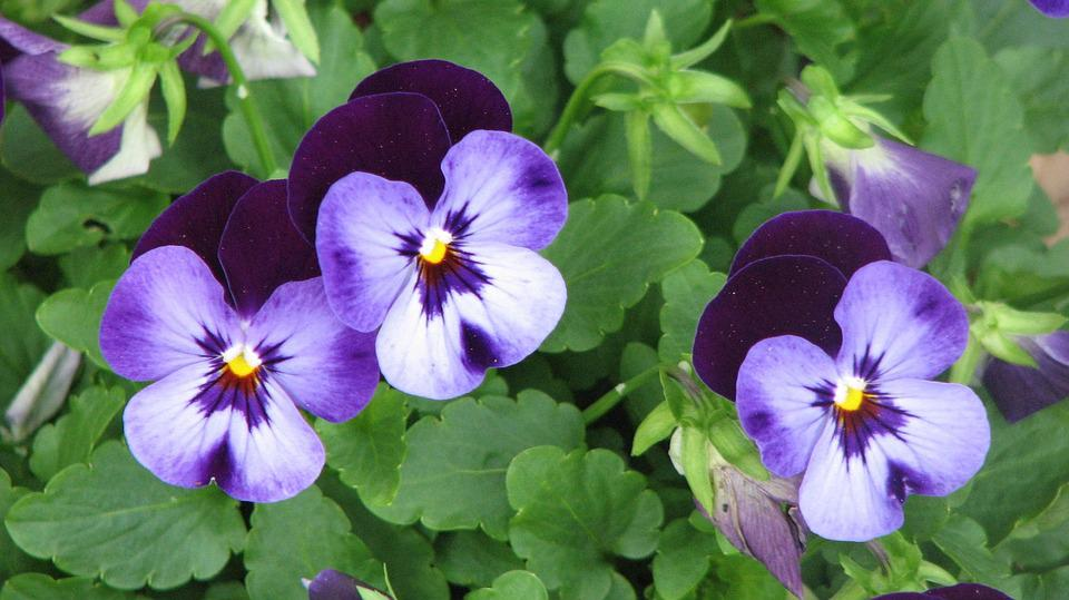 Pansies Flowers Free Photo On Pixabay