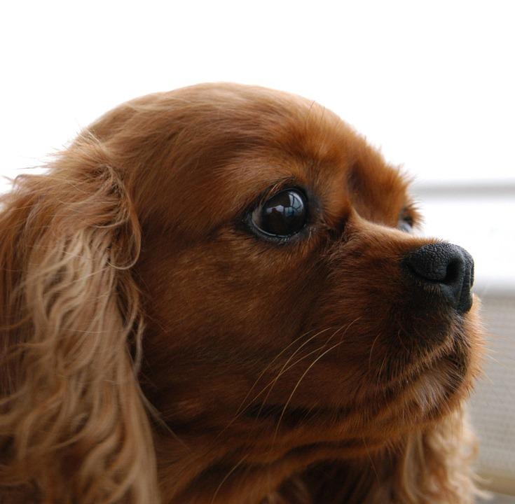 cavalier king charles dog head free photo on pixabay