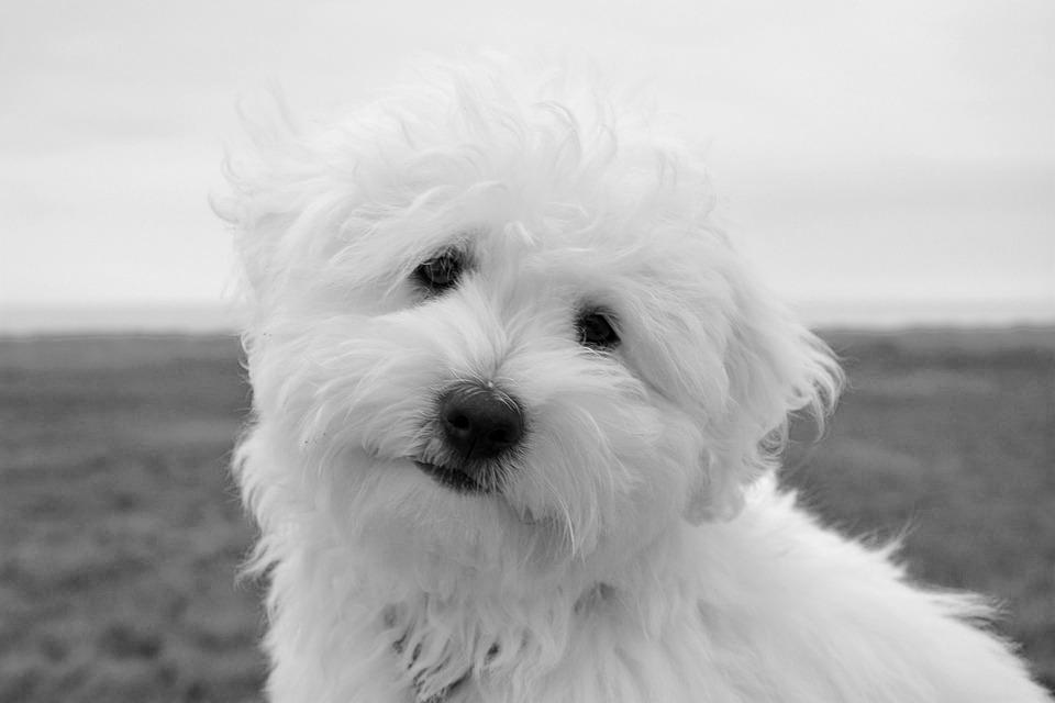 chien chiot femelle coton tuléar photo gratuite sur pixabay