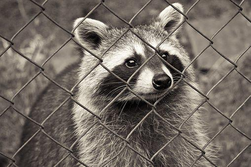 Raccoon, Animal, Nature, Fur, Furry