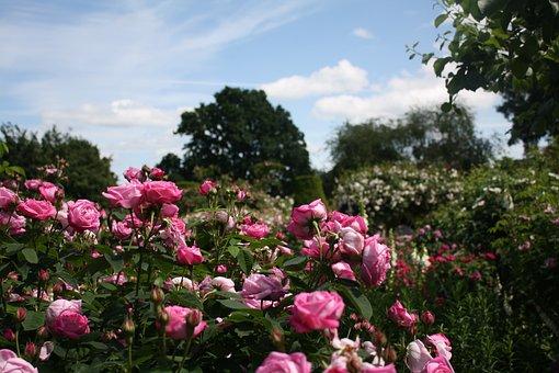 Rosen, Englisch, Garten, Blumen, Sommer