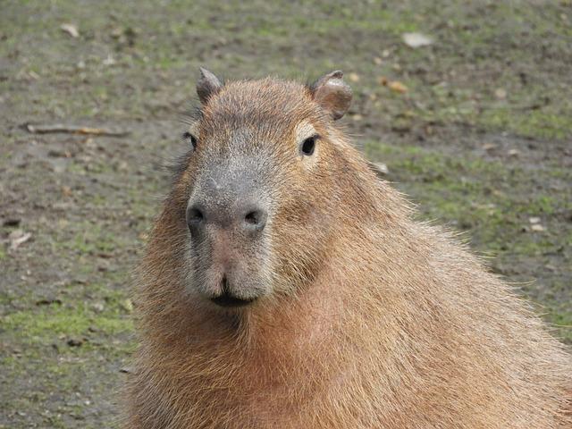 wild rodent guinea pig  u00b7 free photo on pixabay