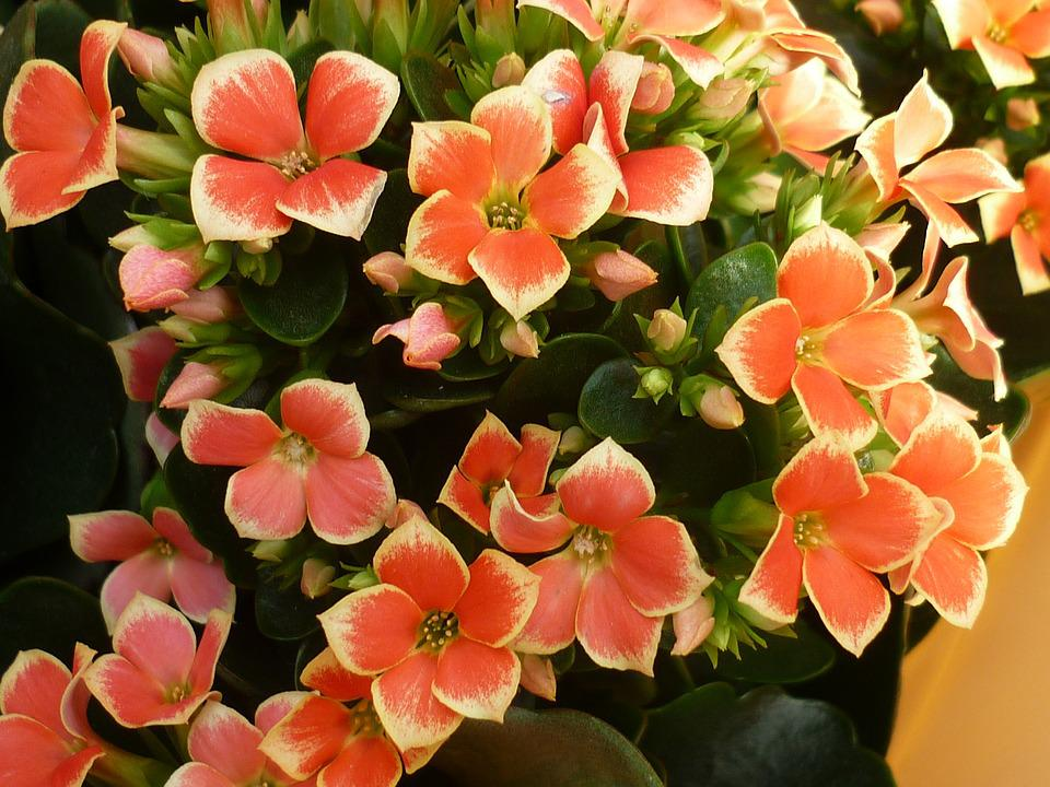 Flower stonecrop flowers free photo on pixabay flower stonecrop flowers red leaf tips white mightylinksfo