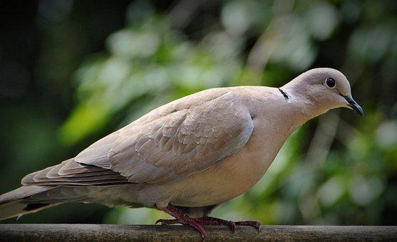 Dove, Ringdove, City Pigeon, Bird