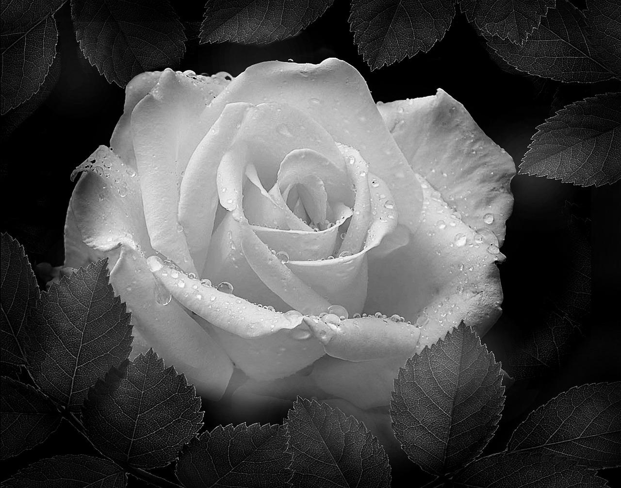 розы черно белые фотографии как