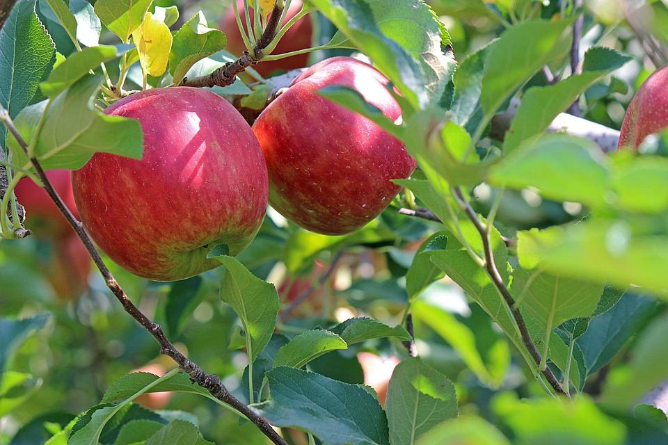 Apple, Madura, Rojo, Frutas, Manzano, Árbol Verde