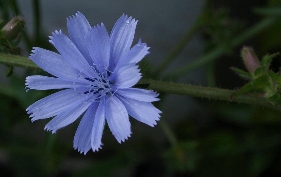 Blau Chicoree Blume Kostenloses Foto Auf Pixabay