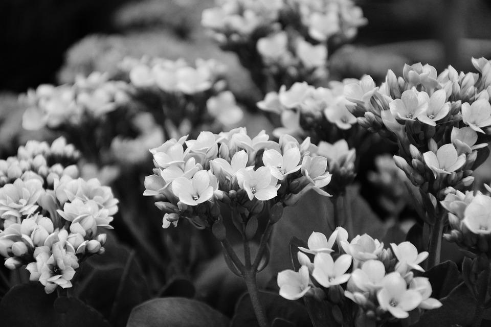 Flowers photo black white plant free photo on pixabay flowers photo black white plant massive flowers mightylinksfo