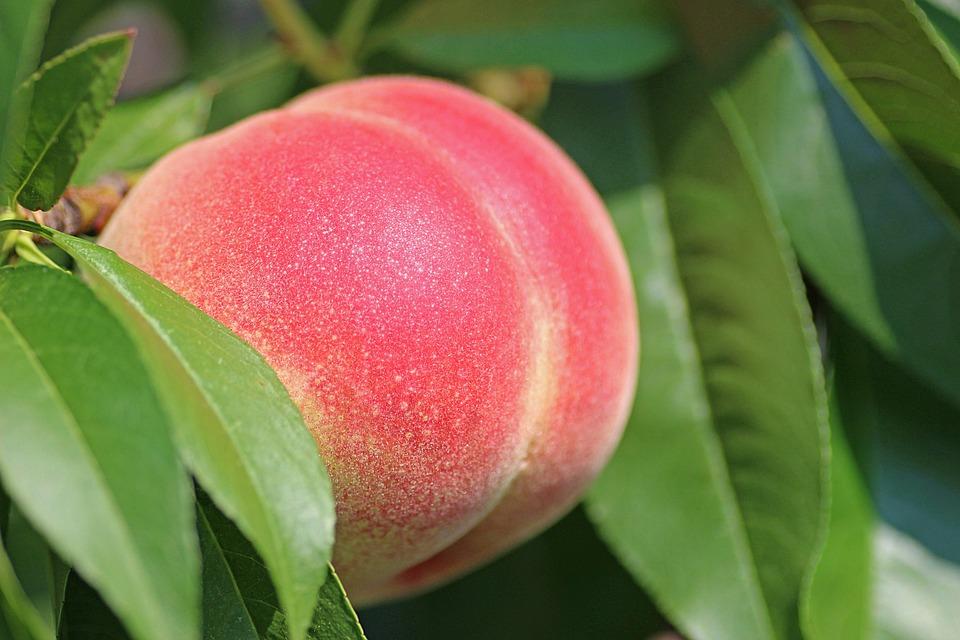 桃、果実、熟した、桃の木、ネクタリン、緑の木