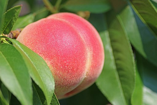Peach, Fruit, Ripe, Peach Tree