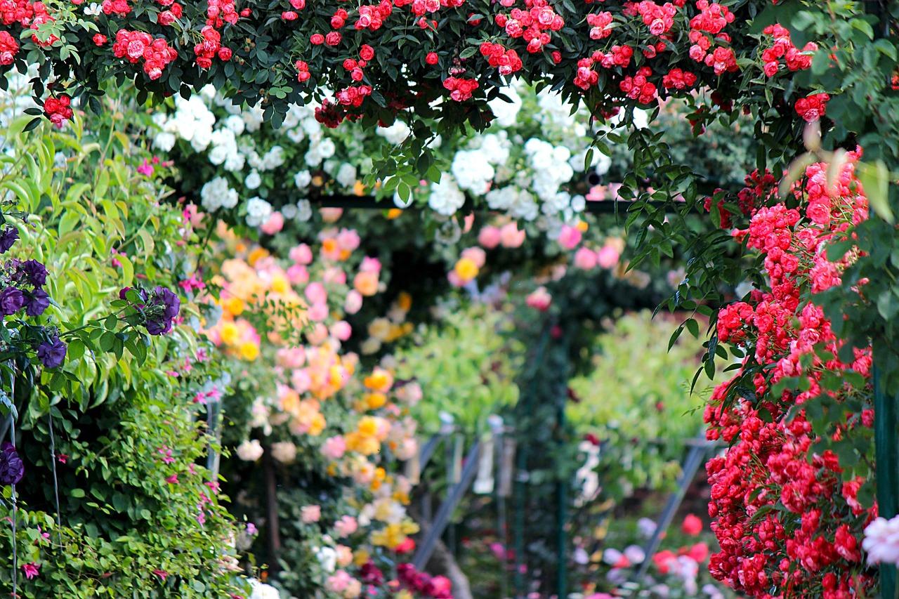 фотообои сад из красных роз высокой