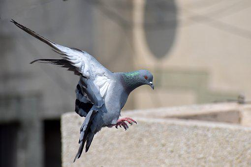Pigeon, Flight, Bird Flying, Landing