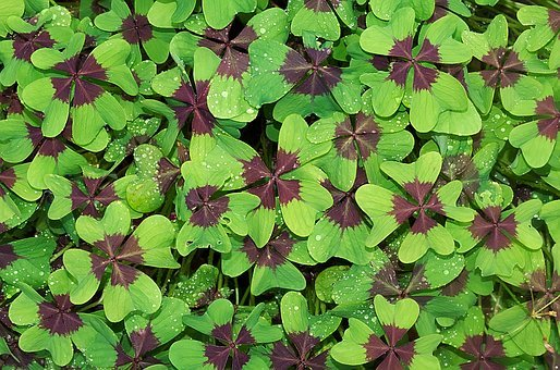 Lucky Clover Images Pixabay Download Free Pictures