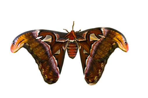 Animal, Butterfly, Insect, Atlas Moth
