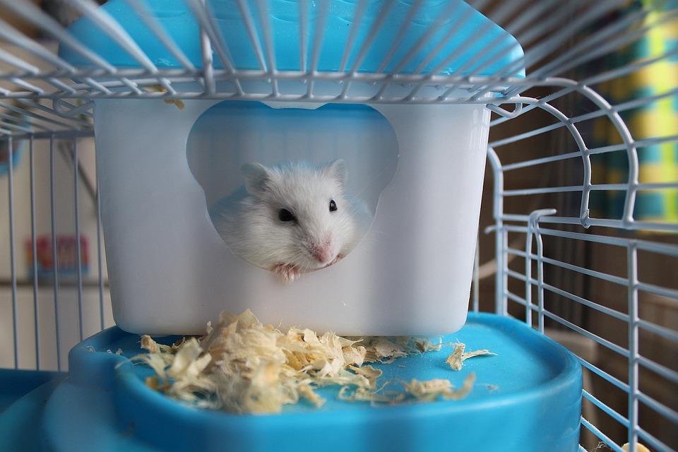 Hamster, Knaagdier, Cage, Huisdier, Muilkorf, Zoogdier