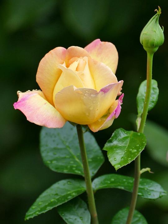 Bunga Mawar Kuning Warna Merah Foto Gratis Di Pixabay