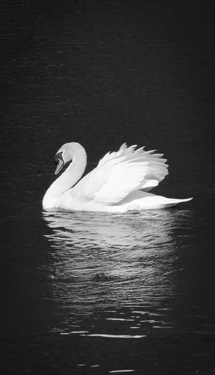 лебеди картинки на черном фоне