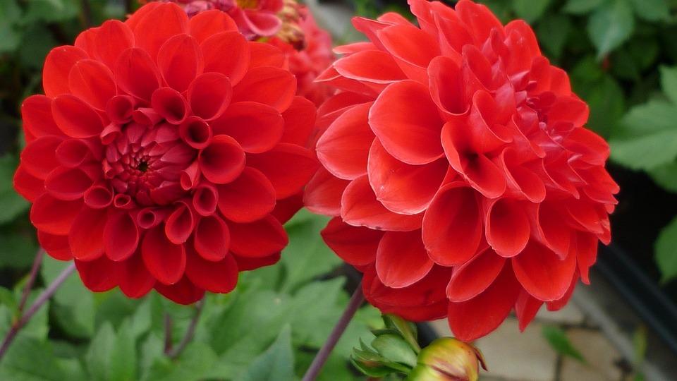 Dahlia Fleur Rouge Photo Gratuite Sur Pixabay
