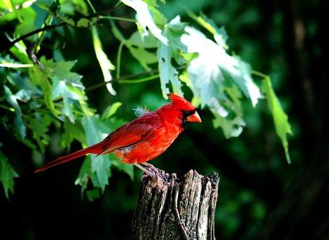 Cardinal, Male Cardinal, Red Bird