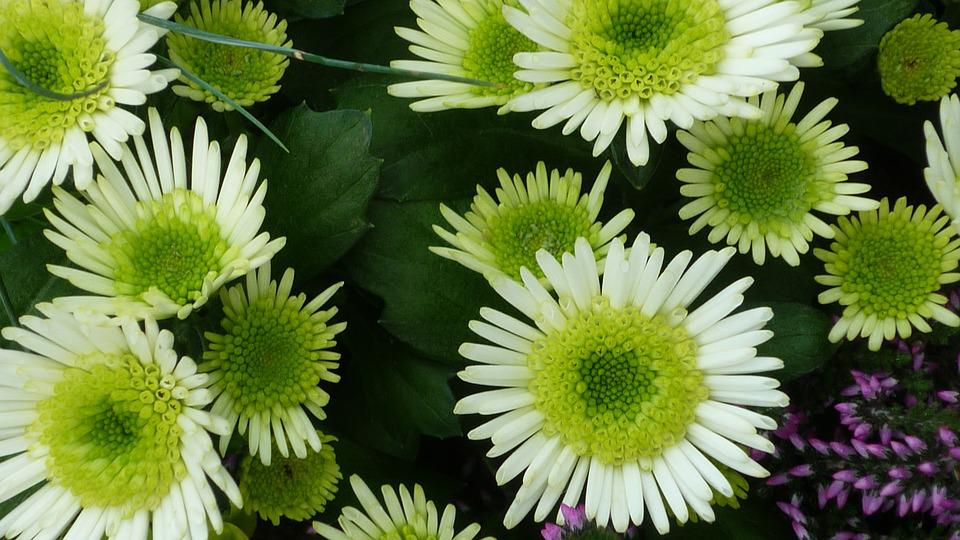 Aster Flower White Free Photo On Pixabay