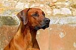 rhodesian ridgeback, dog