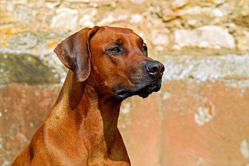Rhodesian Ridgeback, Dog, Guard Dog
