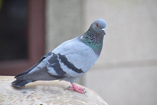 Homing Pigeon, Pigeon