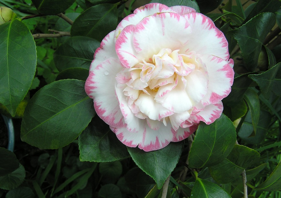 Camellia flower white and free photo on pixabay camellia flower white and pink mightylinksfo