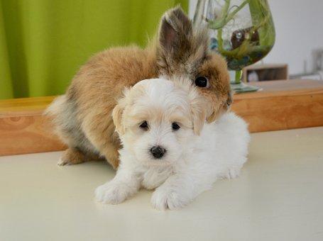 Hug, Rabbit, Dog, Cotton Tulear, Pets