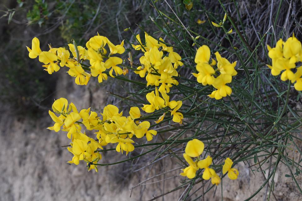 Fiori Gialli Campagna.Flower Yellow Countryside Free Photo On Pixabay