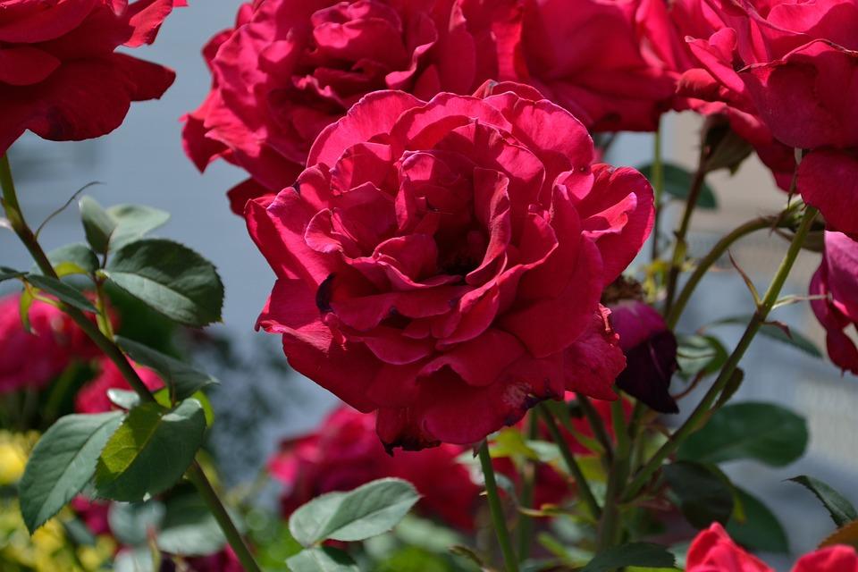 Flowers, Red Flowers, Beautiful, Romantic, Nature