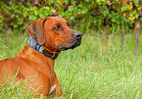 Rhodesian Ridgeback, Dog, Purebred Dog