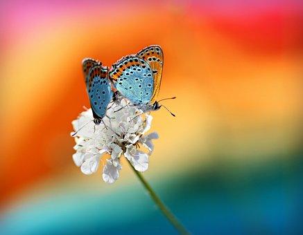 蝶, ペア, 交尾, 赤, 翼, 昆虫綱, 花, 着色