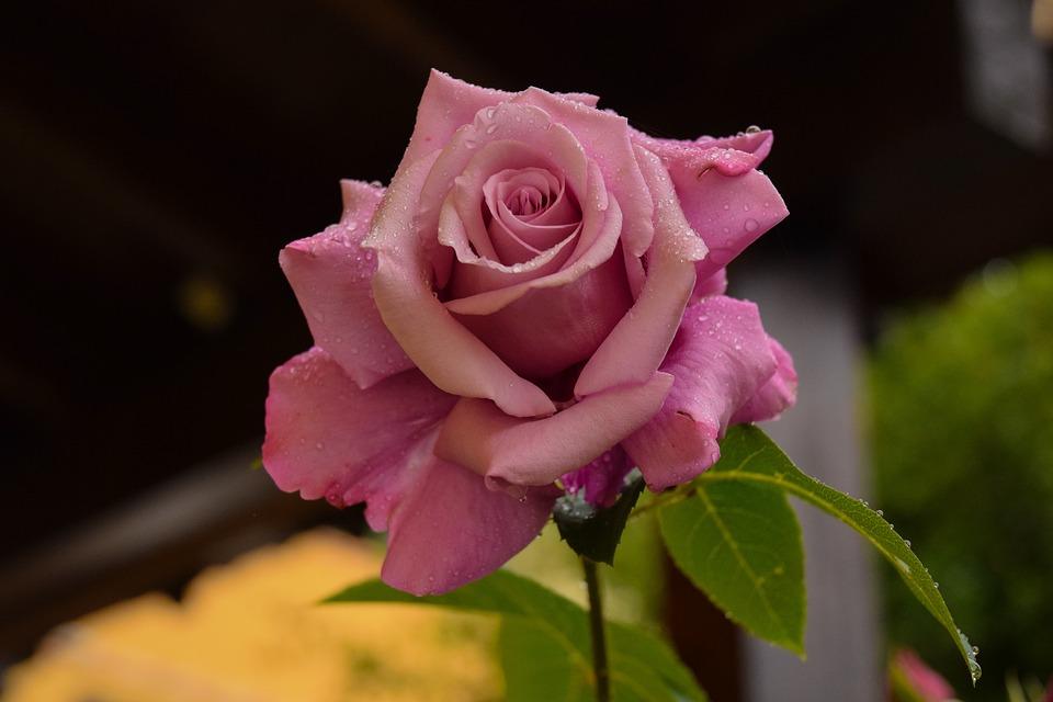 rosa flower free photo on pixabay