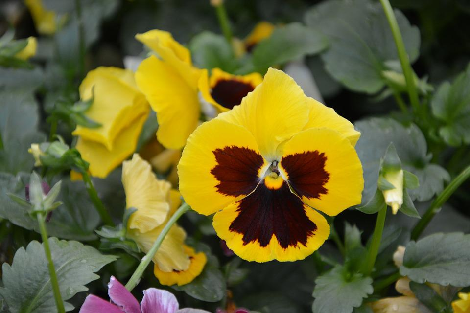 Flower Flowers Yellow Pansies Free Photo On Pixabay