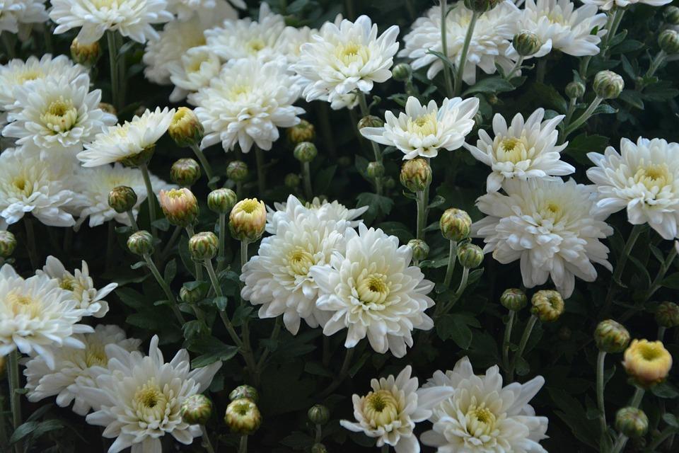 Blume Blumen Pompenettes Weißen · Kostenloses Foto auf Pixabay