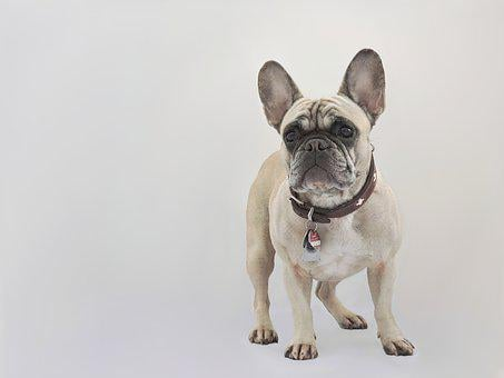 French Bulldog, Dog, Purebred Dog, Pet