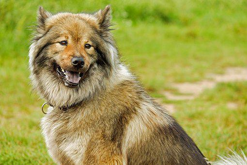 Eurasians, Medium, Spitz-Like, Dog