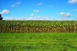 corn, cornfield
