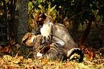 cat, fight, tussle