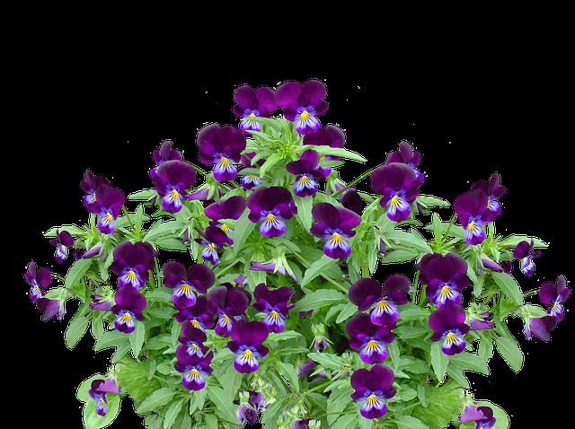pansy spring flower 183 free photo on pixabay