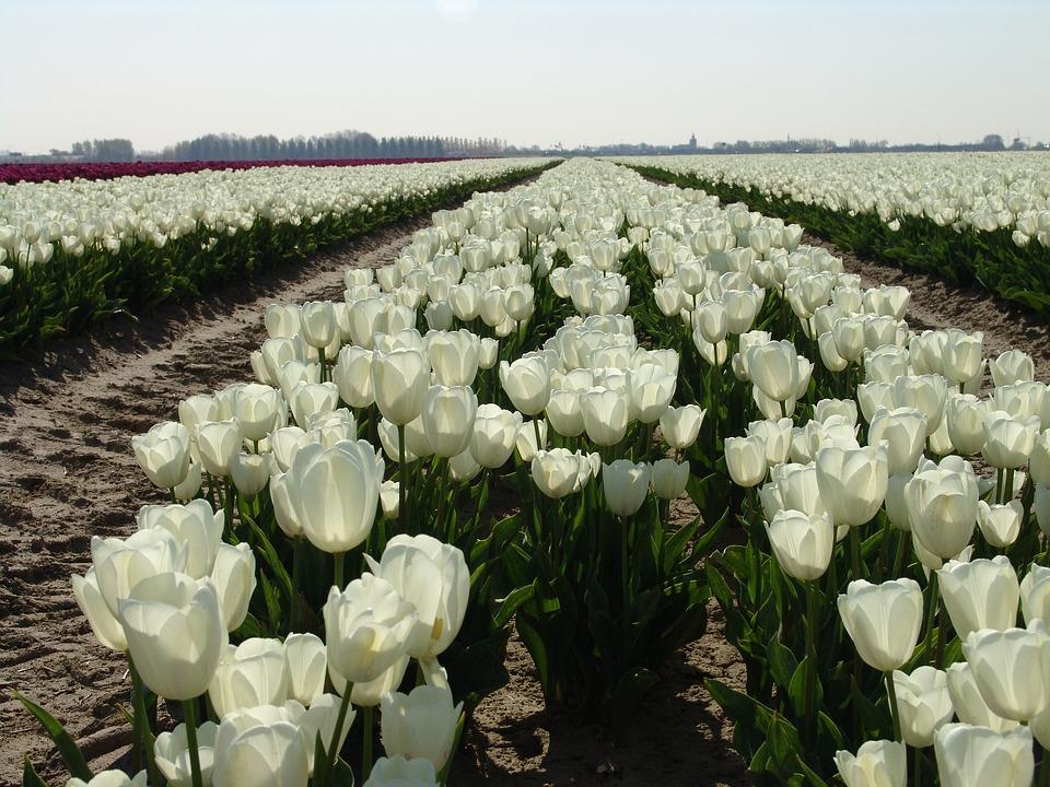 Resultado de imagem para tulipa branca